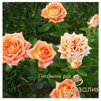 Американские розы