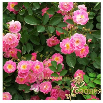 Многоцветковые розы